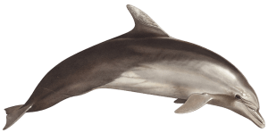 tursiope (Tursiops truncatus)