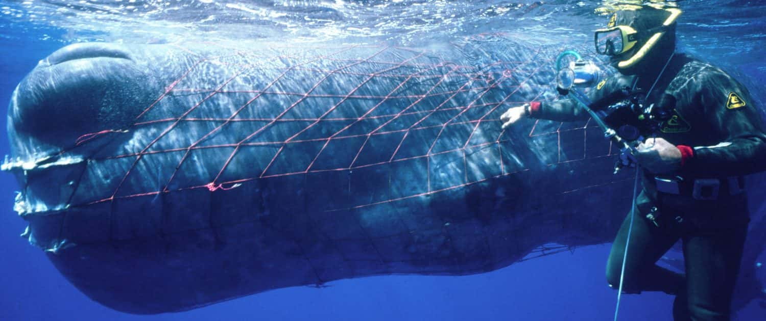 sperm whale entangled in nets