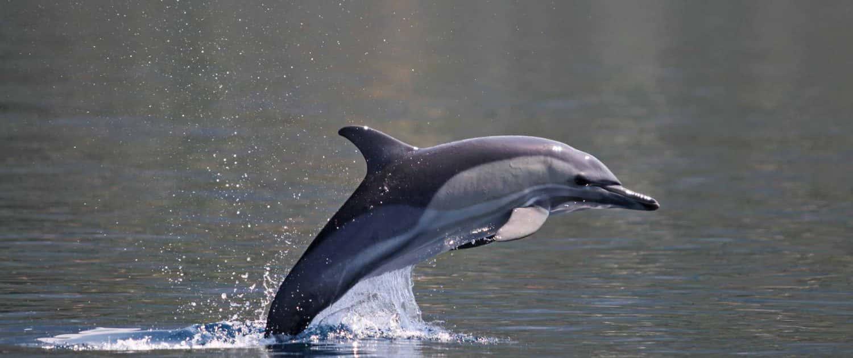 salto delfino comune