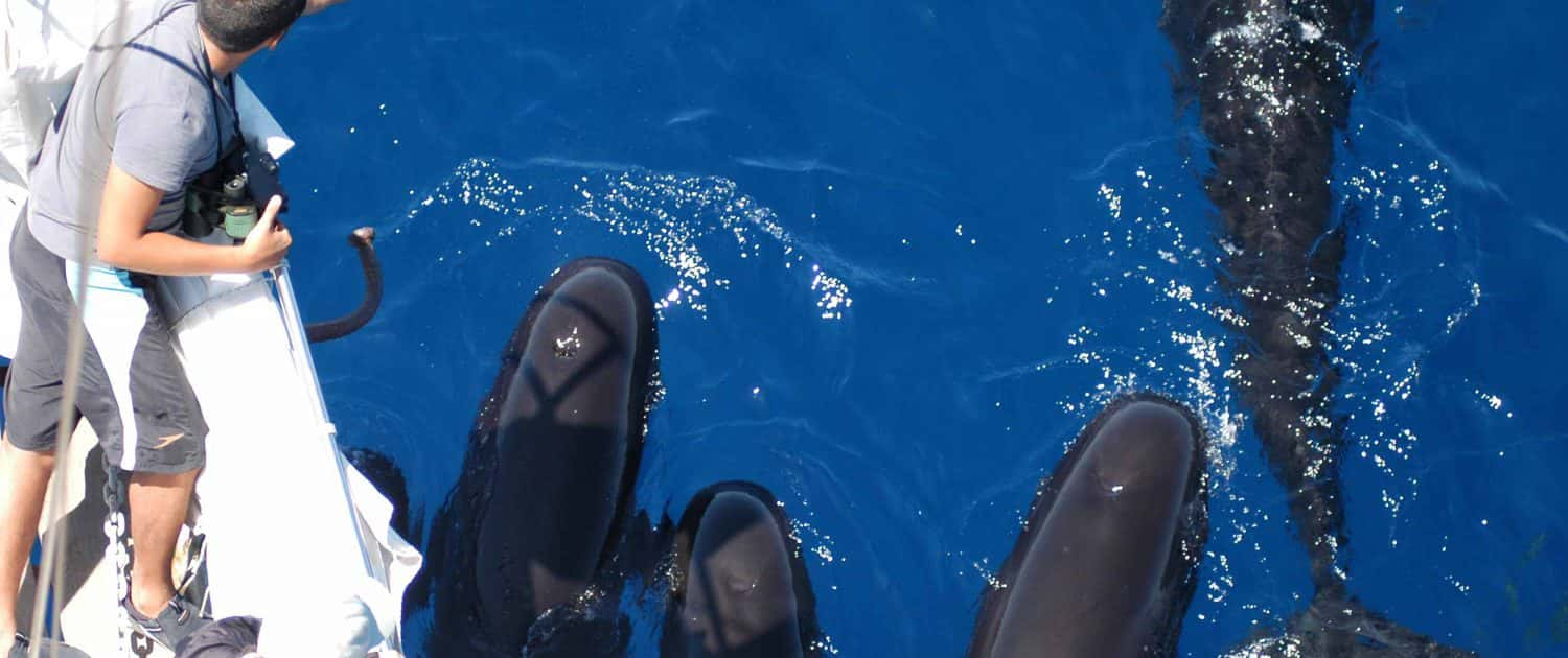 pilot whales and people on boat