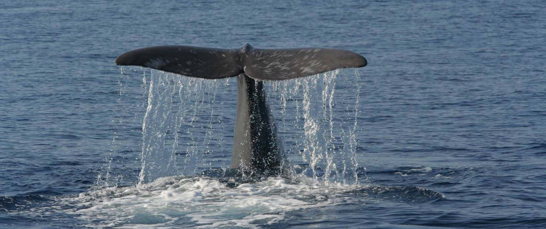 sperm whale flukes