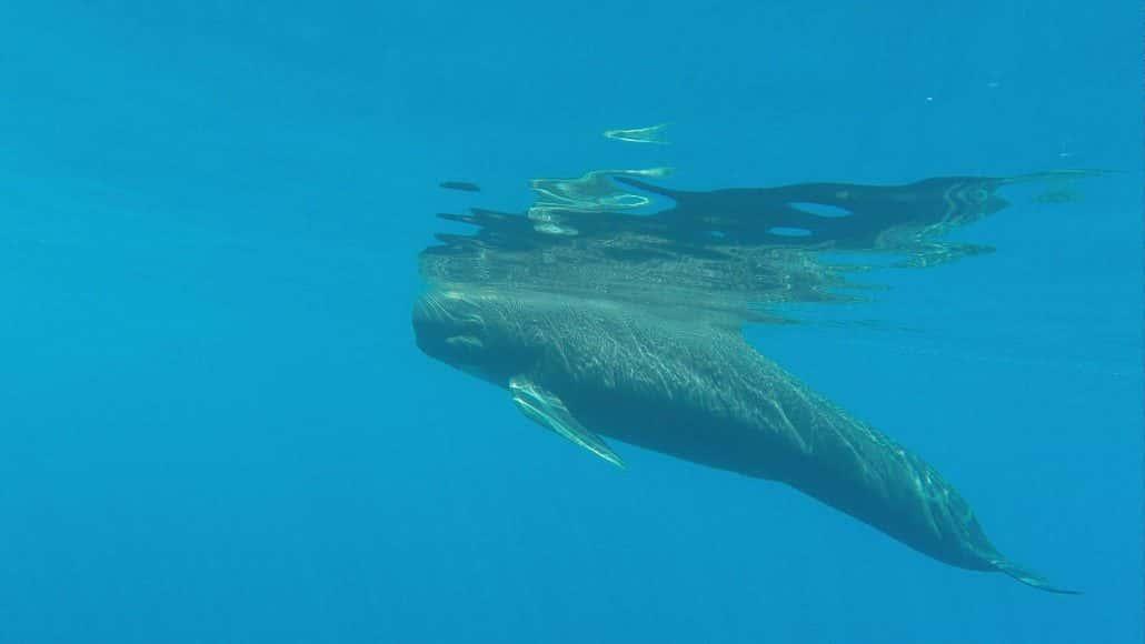 pilot whale underwater