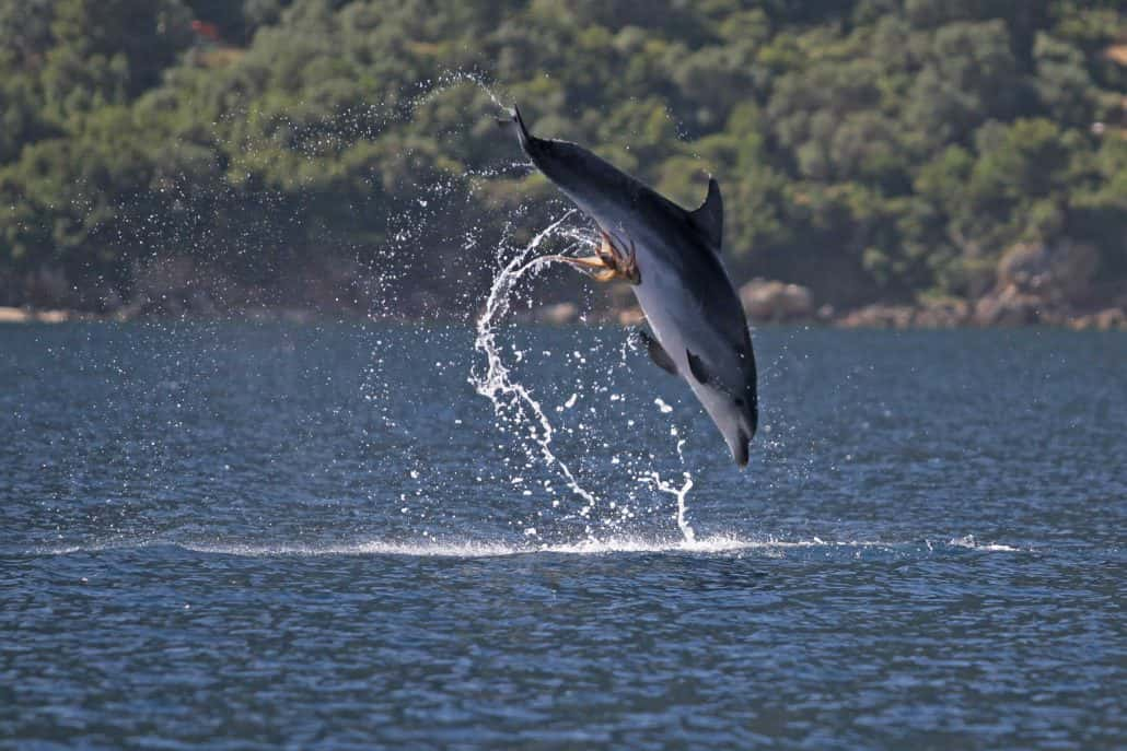 Bottlenose dolphin with octopus attached
