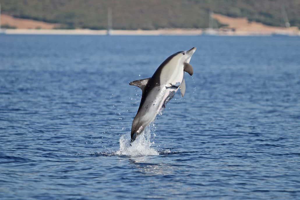 Common dolphin breach